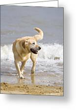 Labrador Dog Playing On Beach Greeting Card