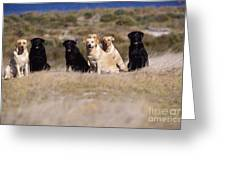 Labrador Dogs Waiting For Orders Greeting Card by Chris Harvey
