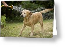 Labrador Playing In Water Greeting Card