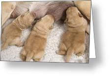 Labrador Puppies Suckling Greeting Card