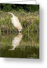Labrador Puppy Drinking Greeting Card