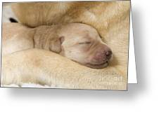 Labrador Puppy On Mother Greeting Card
