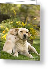 Labrador Puppy Playing With Parent Greeting Card