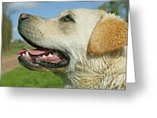 Labrador Retriever Dog Greeting Card