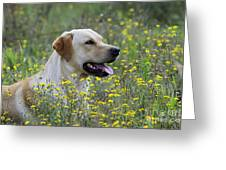 Labrador Retriever Dog Greeting Card