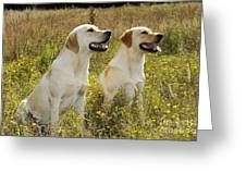 Labrador Retriever Dogs Greeting Card