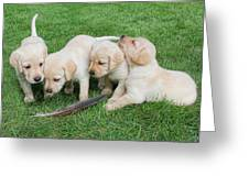 Labrador Retriever Puppies And Feather Greeting Card