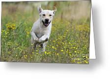 Labrador Running Greeting Card