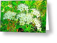 Labrador Tea In Sawtooth National Recreation Area-idaho  Greeting Card