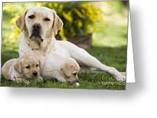 Labrador With Two Puppies Greeting Card