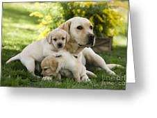 Labrador With Young Puppies Greeting Card