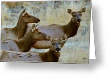 Lady Elk Greeting Card