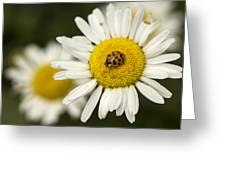 Lady Of The Daisy Greeting Card