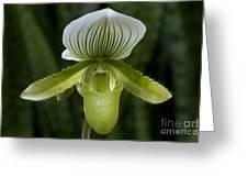 Lady Slipper Orchid Greeting Card