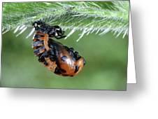 Ladybird Pupa Greeting Card