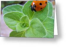 Ladybug And Oregano Greeting Card