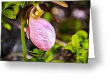 Ladyslipper  Wildflower Greeting Card