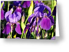 Lake Country Irises Greeting Card