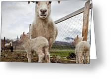 Lamb On A Farm, Iceland Greeting Card