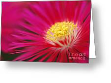 Lampranthus Abstract Greeting Card
