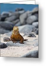 Land Iguana On The Beach Greeting Card