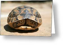Land Turtle Hiding In Its Shell  Greeting Card