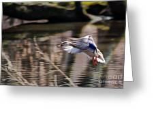 Landing Mallard Greeting Card
