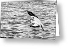 Landing Pelican In Black And White Greeting Card