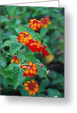 Lantana Delight Greeting Card