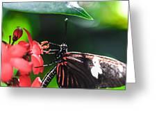Laparus Doris Butterfly Greeting Card