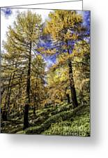 Larch Pines Greeting Card