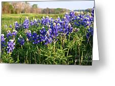Large Blue Bonnets Greeting Card
