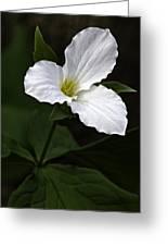 Large Flowered Trillium Greeting Card