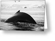 large male Humpback whale with arched back diving in Wilhelmina Bay Antarctica Greeting Card