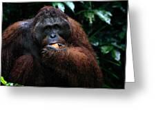Large Male Orangutan Borneo Greeting Card