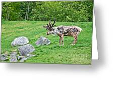 Large Reindeer Molting In Summer Pasture Art Prints Greeting Card