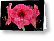 Large Silky Pink Amaryllis Flower On Black Greeting Card