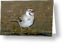 Lark Sparrow Greeting Card