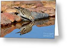 Lark Sparrow Drinking Greeting Card