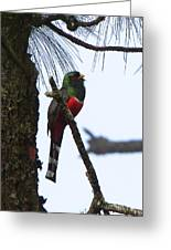 Las Trancas Mountain Trogon Greeting Card