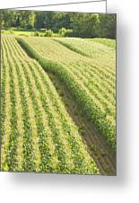 Late Summer Corn Field In Maine Greeting Card