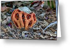 Latticed Stinkhorn Greeting Card