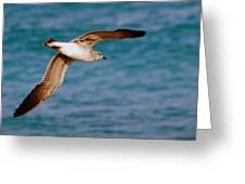 Laughing Gull 002 Greeting Card