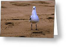 Laughing Gull 004 Greeting Card