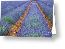 Lavendel 2 Greeting Card