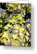 Lavender And Yellow Hydrangea Greeting Card