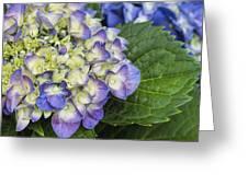 Lavender Blue Hydrangea Blossoms Greeting Card