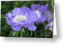 Lavender Blue Pincushion Flower Greeting Card