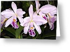 Lavender Cattleya Orchids Greeting Card