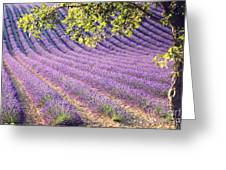 Lavender Field In France Greeting Card